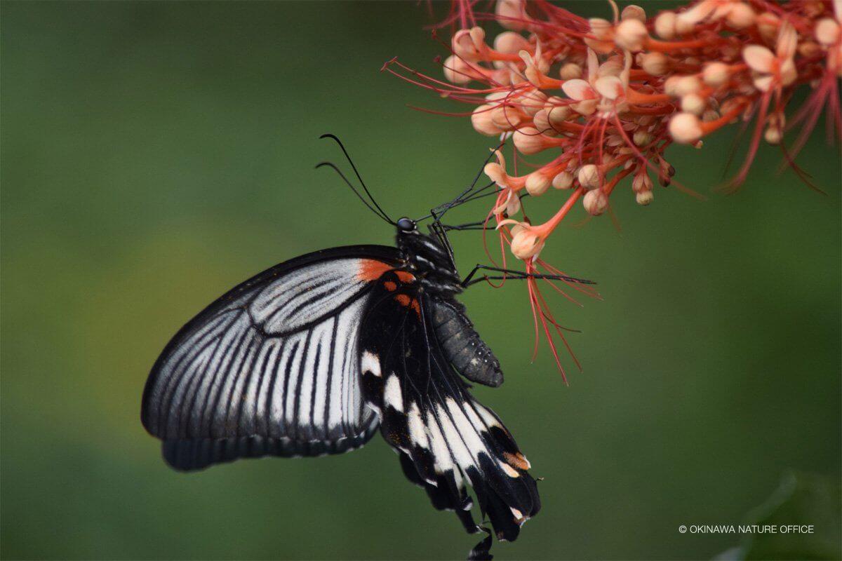 オレンジの花の蜜を吸うナガサキアゲハ