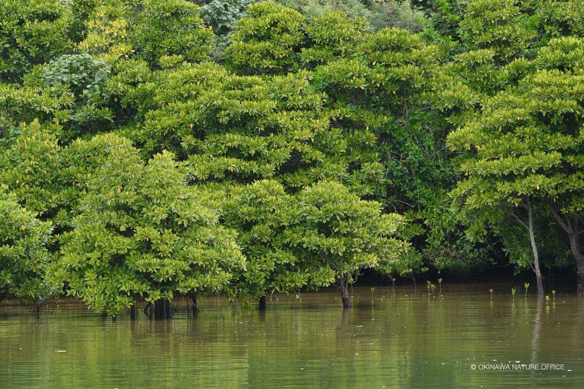 水辺に群がるマングローブ林