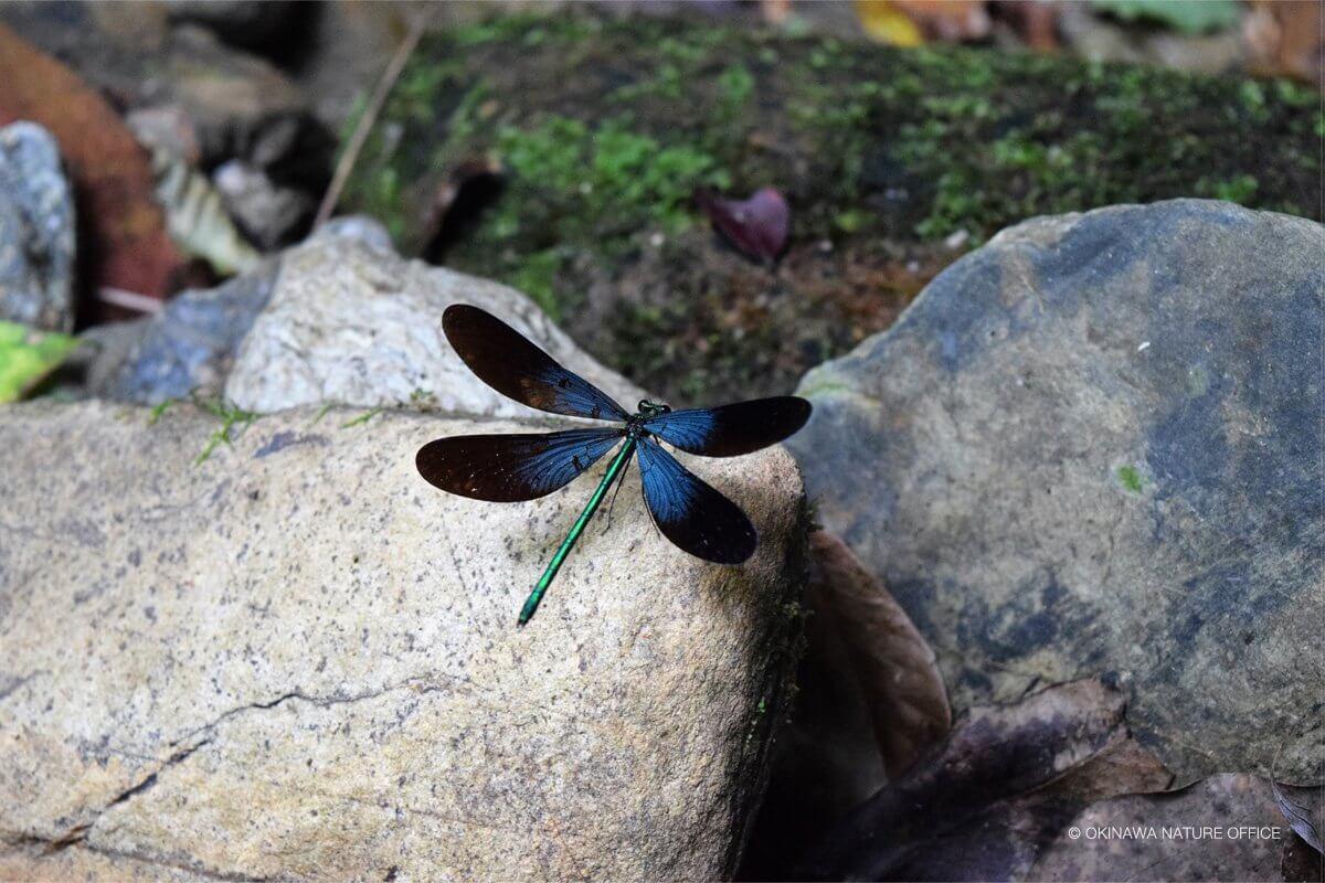 岩の上で羽を休めるリュウキュウハグロトンボ