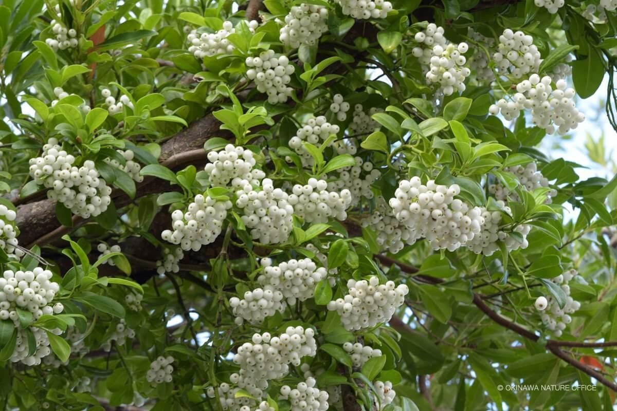 枝いっぱいに咲き誇る白くて可愛い花は白玉カズラ