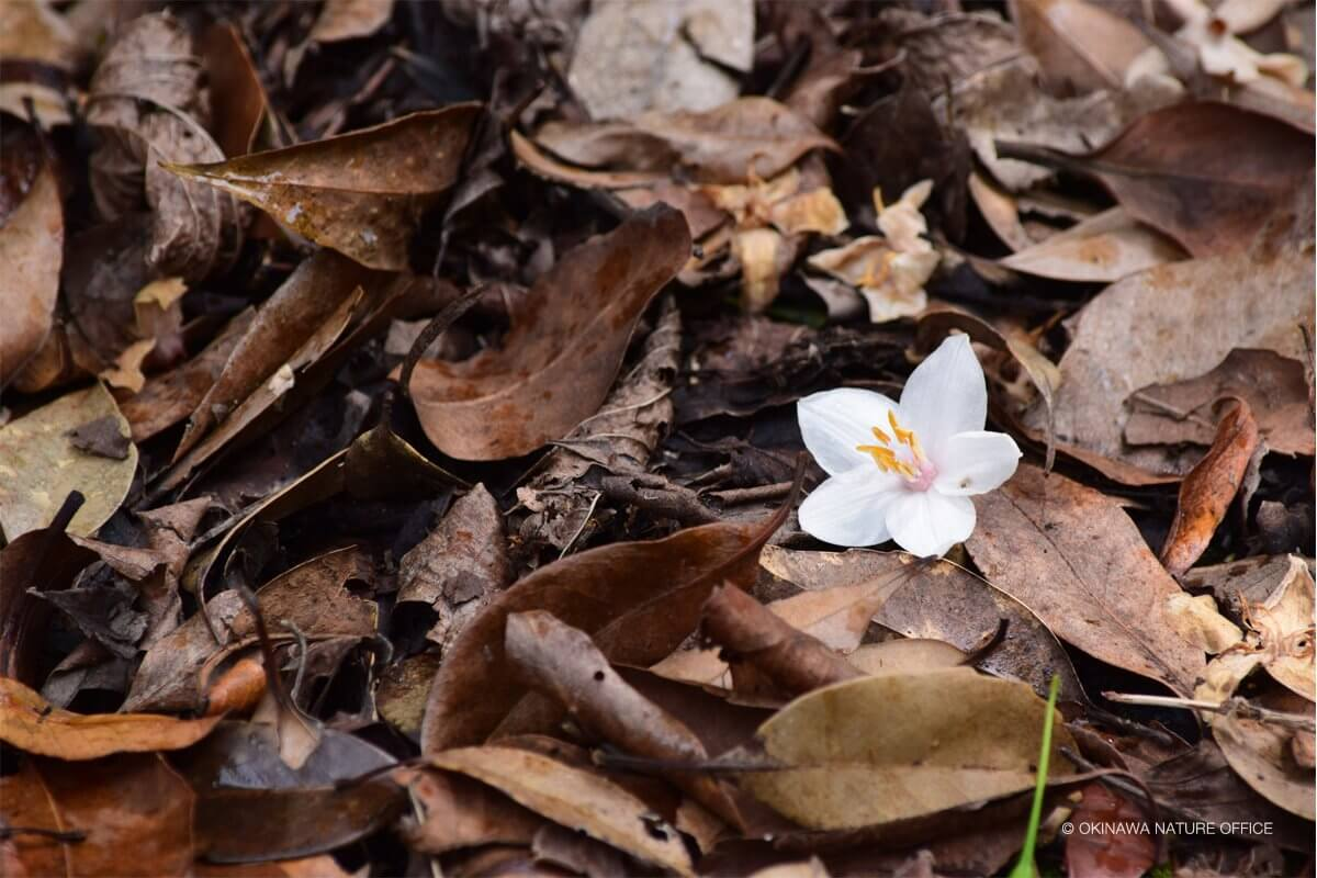落ち葉のじゅうたんで可憐に咲く白い花